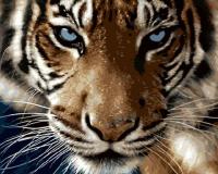 GX 8767 Взгляд тигра+@